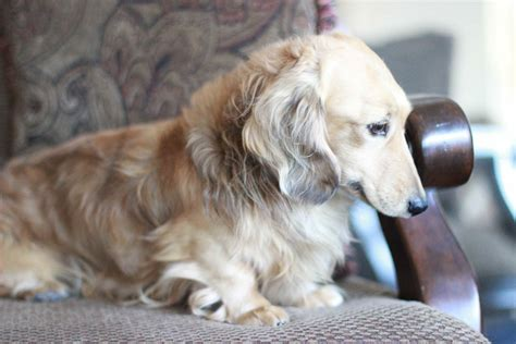 Gallery | Crown Dachshunds